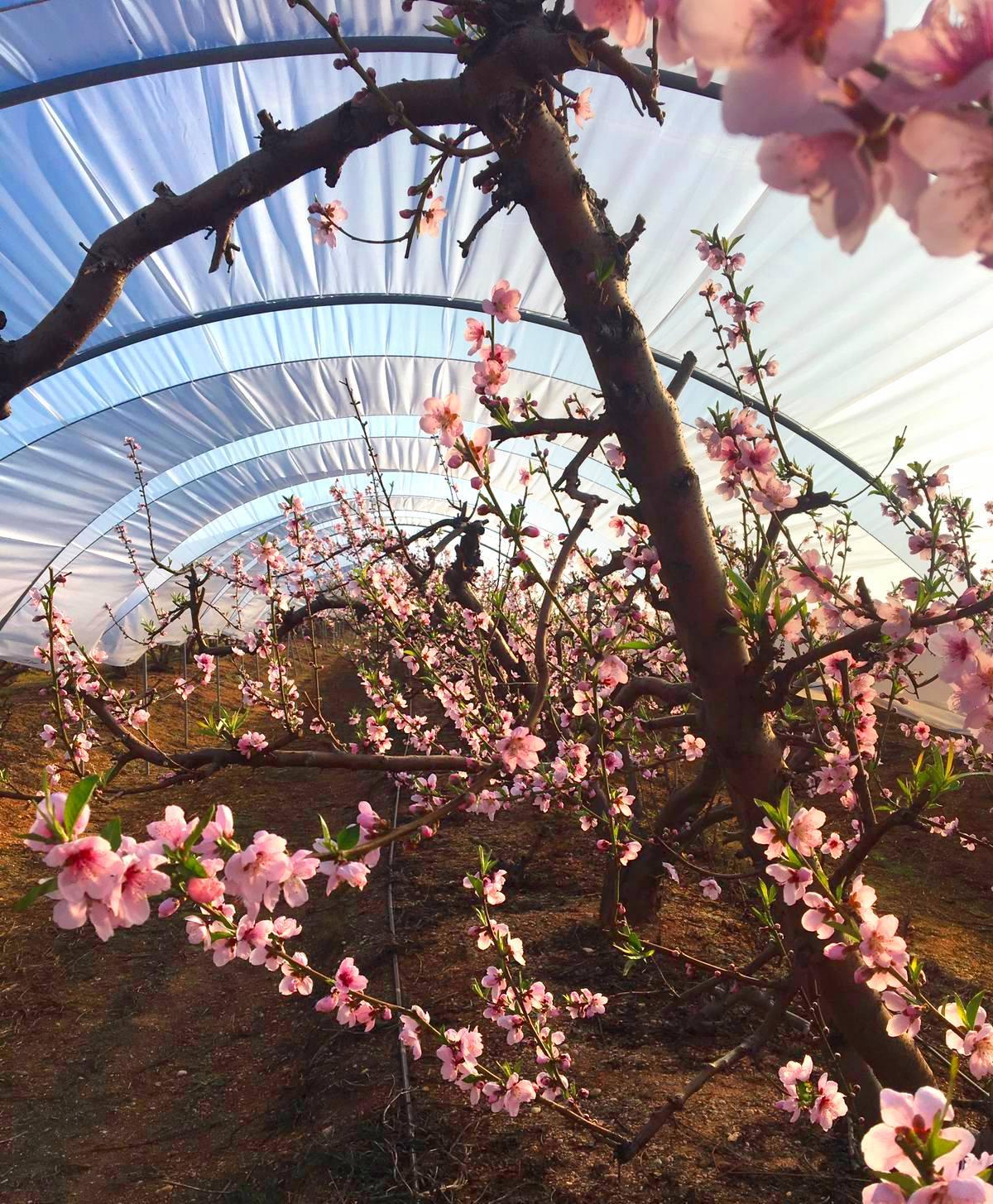 Comienza la floración de nuestros nectarinos